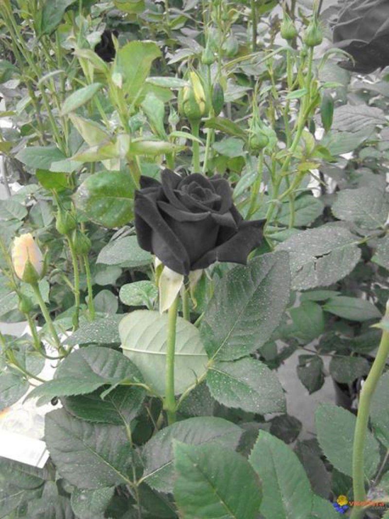 Beautiful black rose bush garden pinterest rose bush flowers beautiful black rose bush izmirmasajfo
