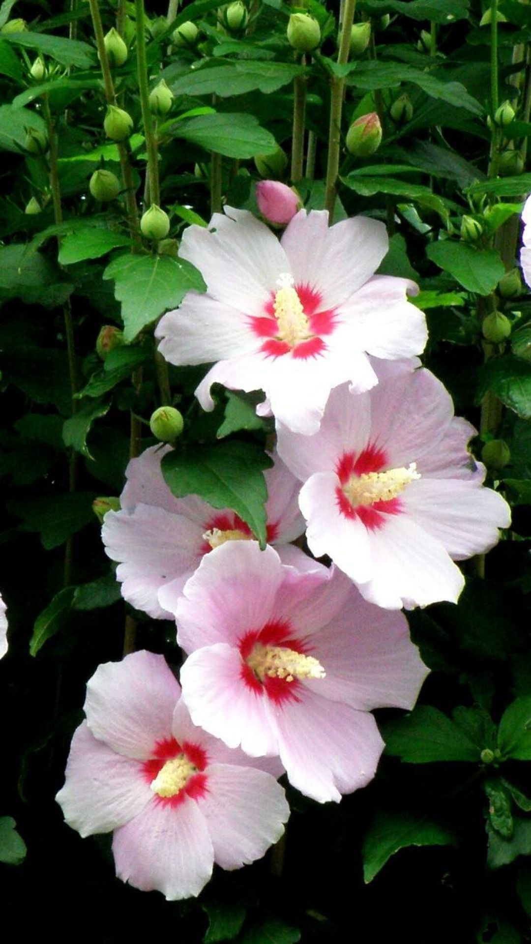 Mallow envy pinterest flow flowers and hibiscus scientific name hibiscus syrlacuscommon name rose of sharonzone izmirmasajfo Image collections