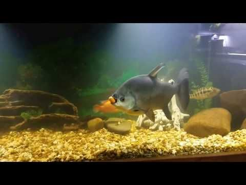 Oliver The Pacu Eating Carrots And Zucchini Huge Pacu And Tank Mates Youtube Cichlids Eating Carrots Pacu Fish