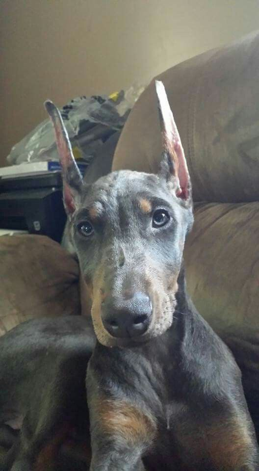 Blue Doberman Doberman Pinscher Blue Doberman Pinscher Blue