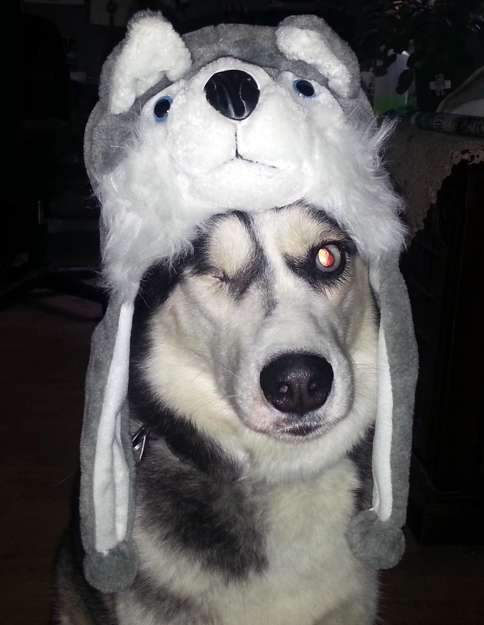 Wonder the Dog is ready for winter! Dog Husky Winter