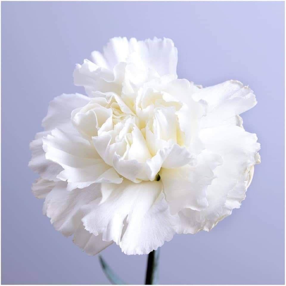 ر وح الإنســــــان مث ـــــل الو رد ك لمـــــا ذ ك ـــــر الله أز هــــــر و ان ش ر ح ص د ر ه و ك لمـــــا ص د In 2020 Carnations White Carnation Expensive Flowers
