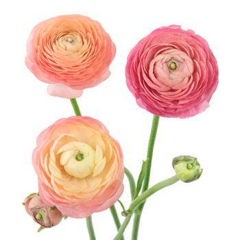 Peach Watermelon Wholesale Ranunculus Flowers Fiftyflowers Ranunculus Flowers Delphinium Flowers Flower Meanings