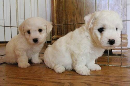 Sweet Coton De Tulear Ukc Registered Very Cute Puppies Baby
