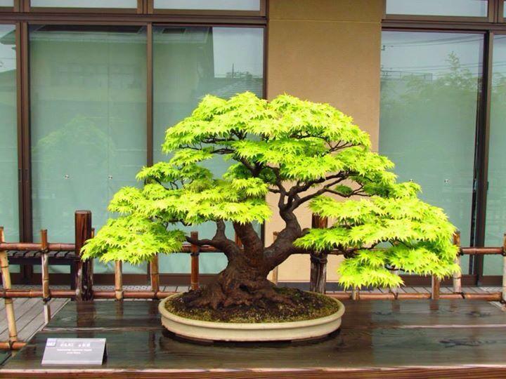 bonsai bonsai pinterest kleine b ume baum und sortieren. Black Bedroom Furniture Sets. Home Design Ideas