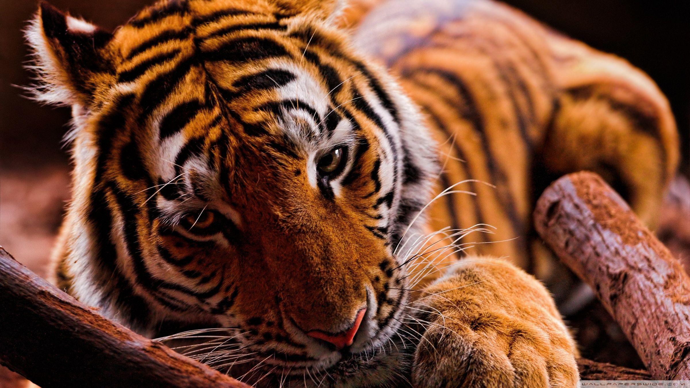the teal tiger Cute wild animals, Animals, Tiger wallpaper