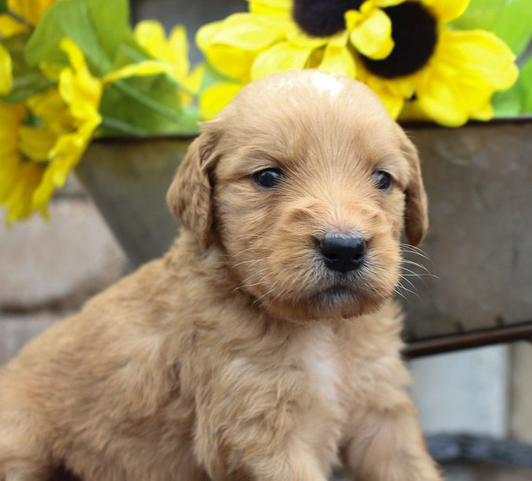 Skye Puppies, Goldendoodle puppy, Puppy litter