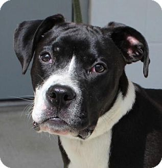 Hagerstown, MD Boxer Mix. Meet Steele, a puppy for