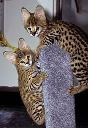 Top 5 Most Expensive Cat Breeds Cool Cat Board Pinterest Cats