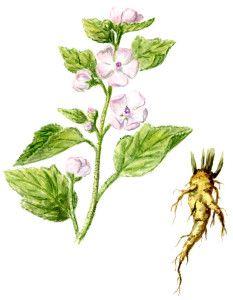 Przepis Na Syrop Prawoslazowy Plants Herbs Animals