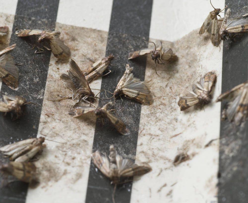Motten Im Kleiderschrank Wird Man Mit Einfachen Tricks Los Lebensmittelmotten Was Hilft Gegen Motten Und Motten In Der Kuche