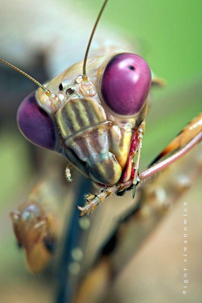 Praying Mantis Close Up To Think That Elizabeth S Violet Eyes Were Beautiful They Hadn T Seen Mine Makrosemki Strannye Zhivotnye Zhuki
