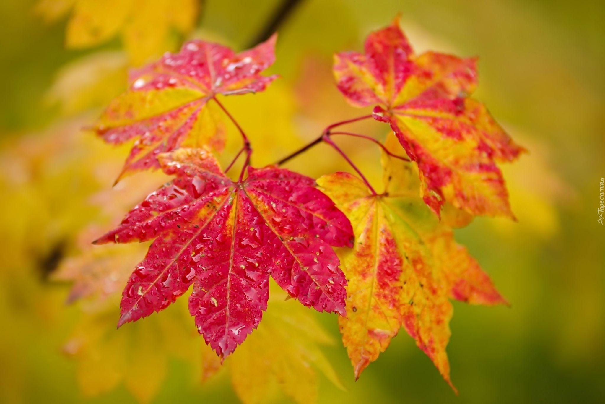 Jesien Kolorowe Liscie Klon Plants