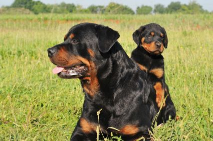 Rottweiler Facts Traits Free Rottweiler Puppies Must Love