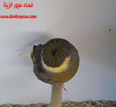 كــناري جـلـوسـتر ذو لــون حـبشي Animals Bird Canary