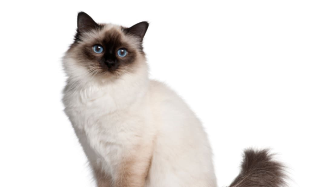 How Much Are Birman Cats All About Foto Cute Cat Mretmlle Com Kittens Birman Cat Foto Much Kittens Birman Cat Cats Kittens