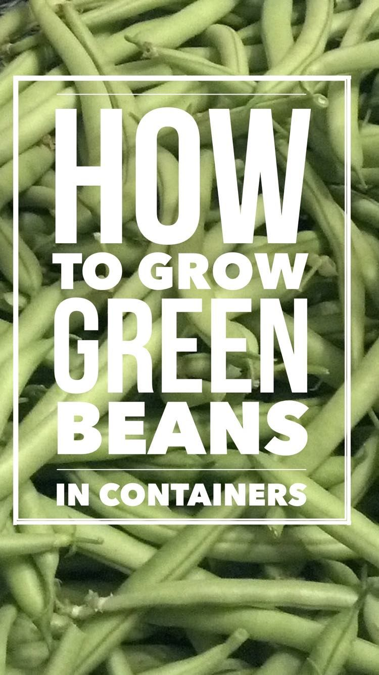 How To Grow Great Green Beans In Containers Growing Green Beans Indoor Vegetable Gardening Container Vegetables