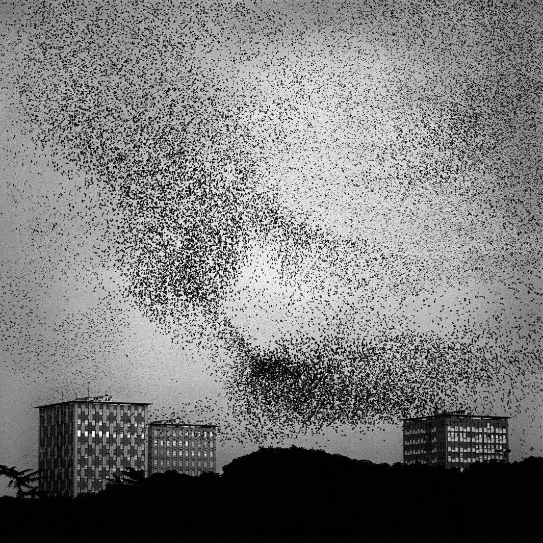 Starlings Murmur no. 23, Dec. 6, 2006