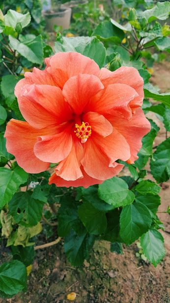 PRIDE OF HANKINS Bush Tropical Hibiscus Plant Triple Hot ... |Triple Hibiscus