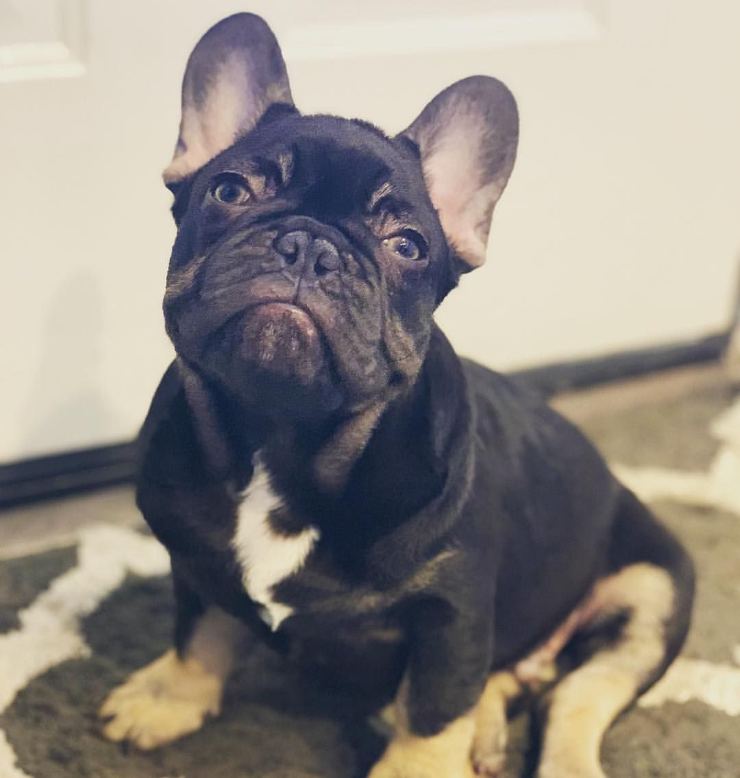Chocolate And Tan French Bulldog Puppy Mr Cruz Jr