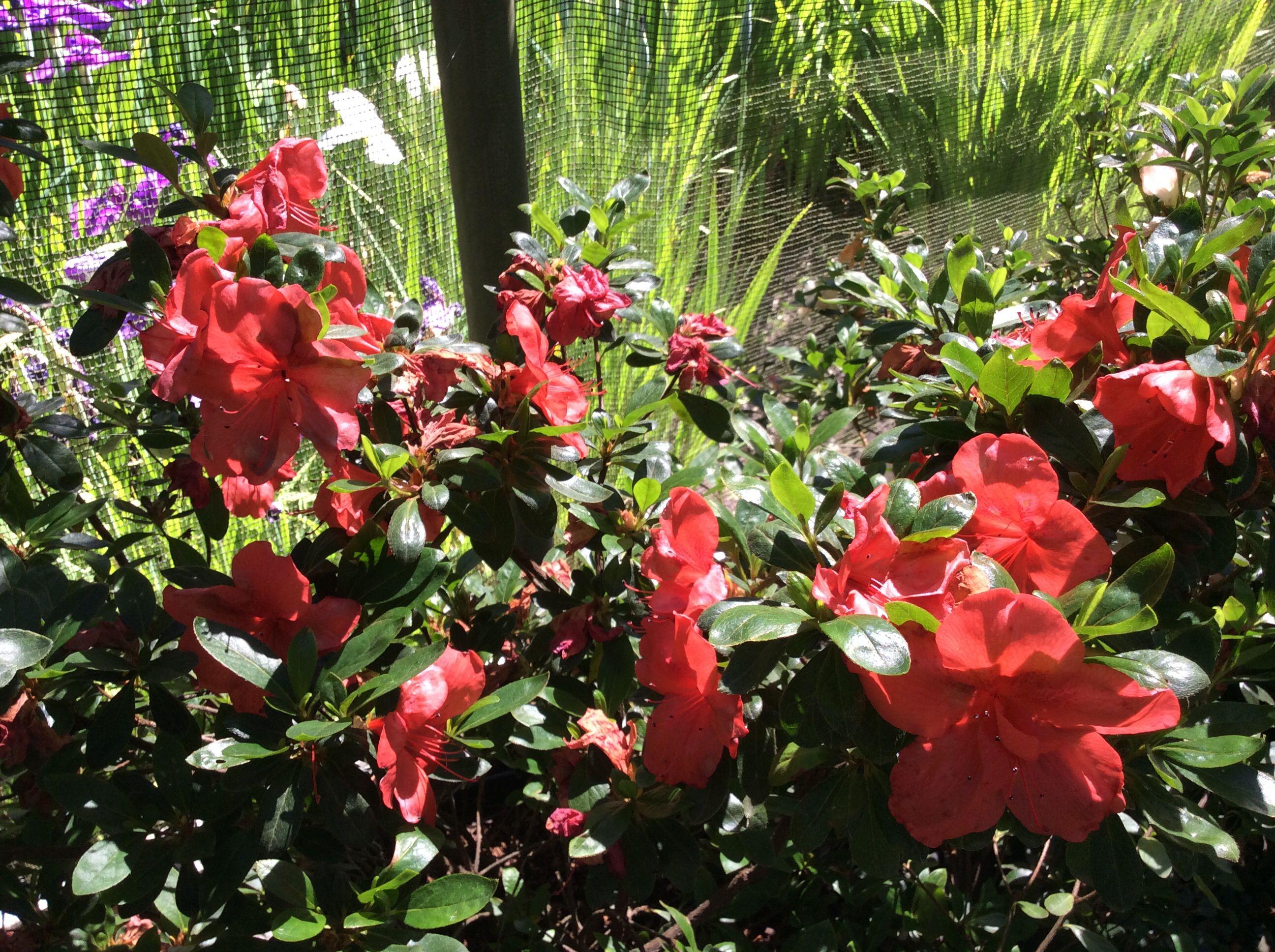 Ama Ghasa Azalea Sonomahort Sonoma Horticultural Nursery Sebastopol Ca Http
