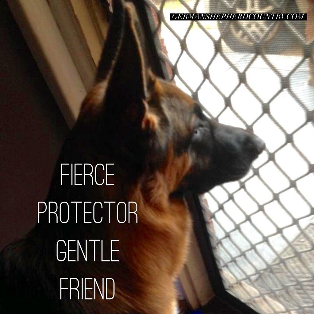 German Shepherd Dog's Titan pic. Love her mumma Kim