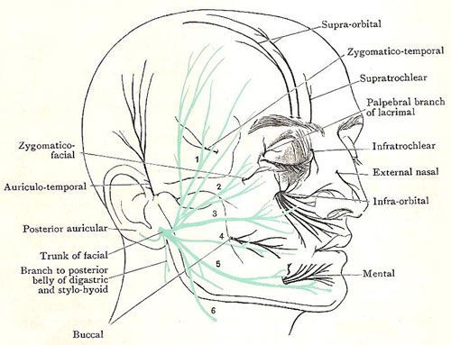 cranial nerve 8 vestibulocochlear | Fm | Pinterest | Cranial nerves