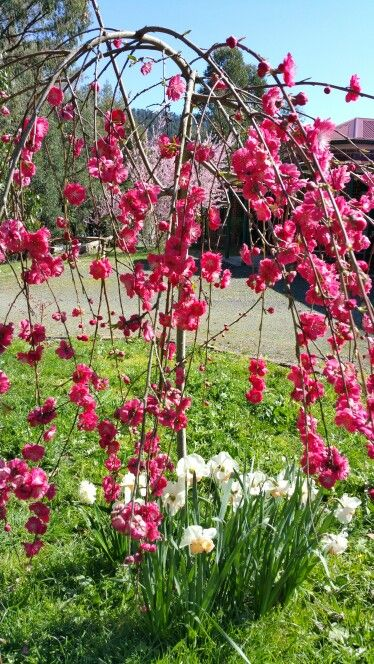 My Beautiful Weeping Peach Garden Yard Ideas Flowering Trees Dream Garden