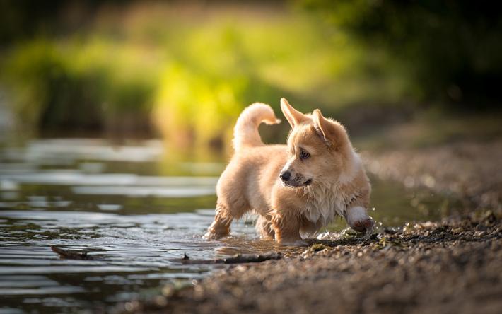 Fondos De Pantalla De Animales Graciosos: Descargar Fondos De Pantalla Río, Welsh Corgi