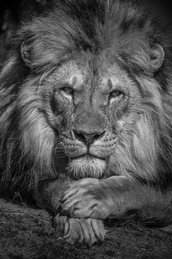 Photo of Lion photo wall art, African nature wild big cat photography in black and white sepia. Lion home decor gift for husband, boyfriend, man cave