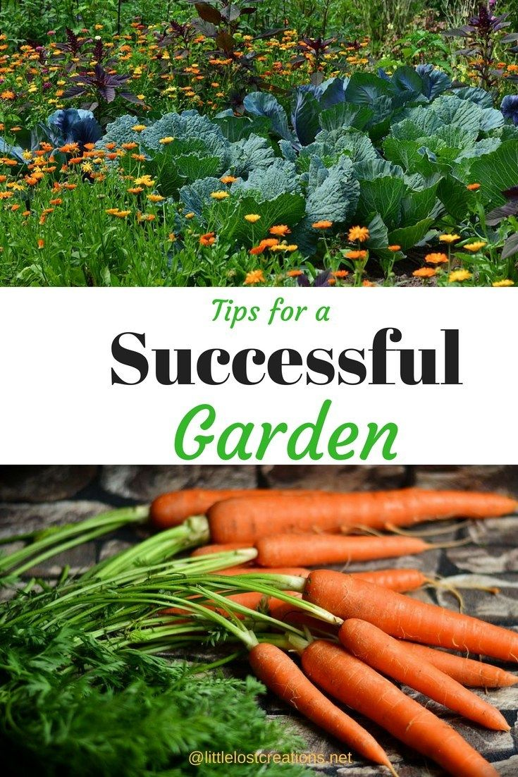 Gardening, Where Do You Start  A Beginners Guide For Gardening is part of Fall garden vegetables, Organic gardening tips, Gardening for beginners, Gardening tips, Garden pests, Organic gardening - Gardening, Where Do You Start  A Beginners Guide For Gardening  Helpful tips to plant a successful vegetable garden