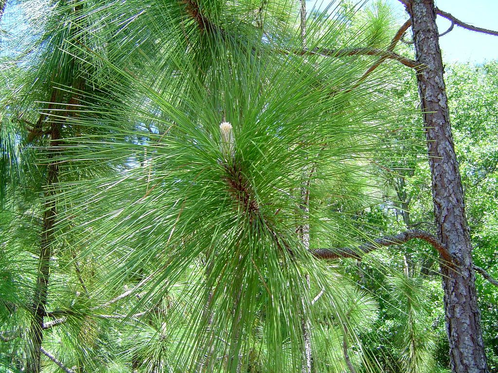 The Pine Has Been The Official State Tree Since 1963 Southern Pine Tree Farms Pine