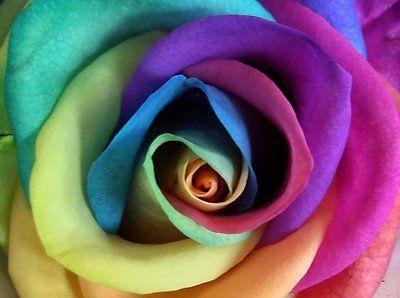 Gift 5 RAINBOW ROSE BUSH Seeds Shrub Rosa Flower Comb S//H Make Your Own