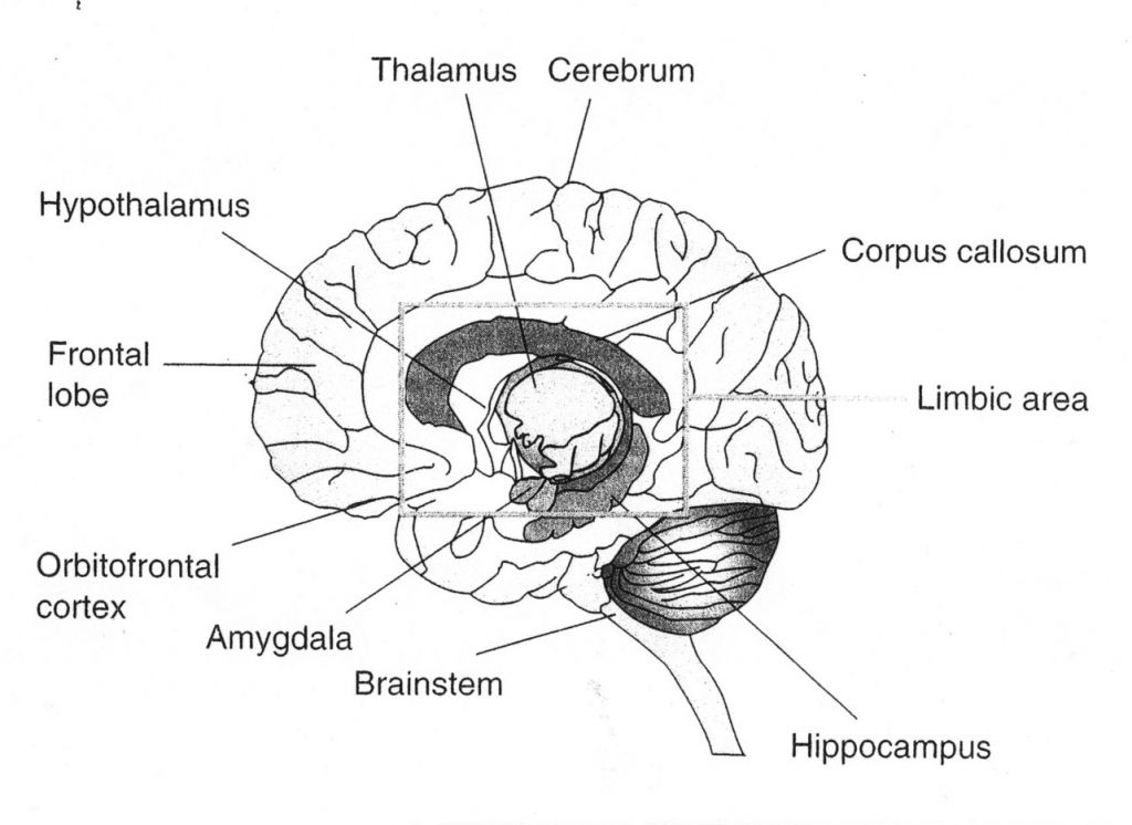 Brain Diagram Labeled 3 Best Images Of Simple Brain Diagram And ...