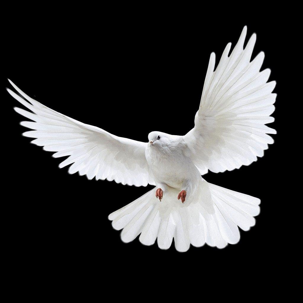 Vector Paloma Simbolo De Paz Paloma De La Paz Simbolo De Paz Gratis Png