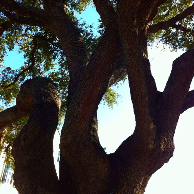 Bywater Oak
