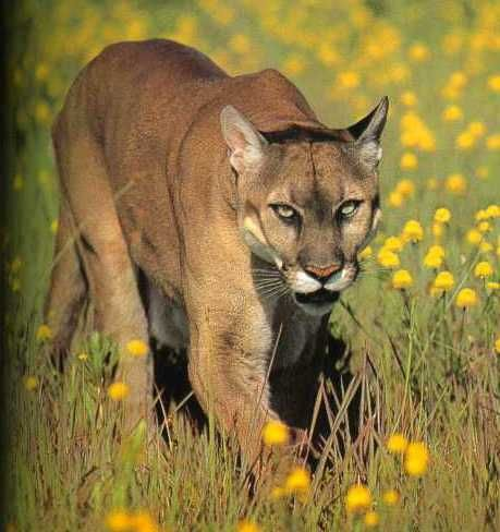 15 Amazing Animals That Start With The Letter E Puma Tiere Wild