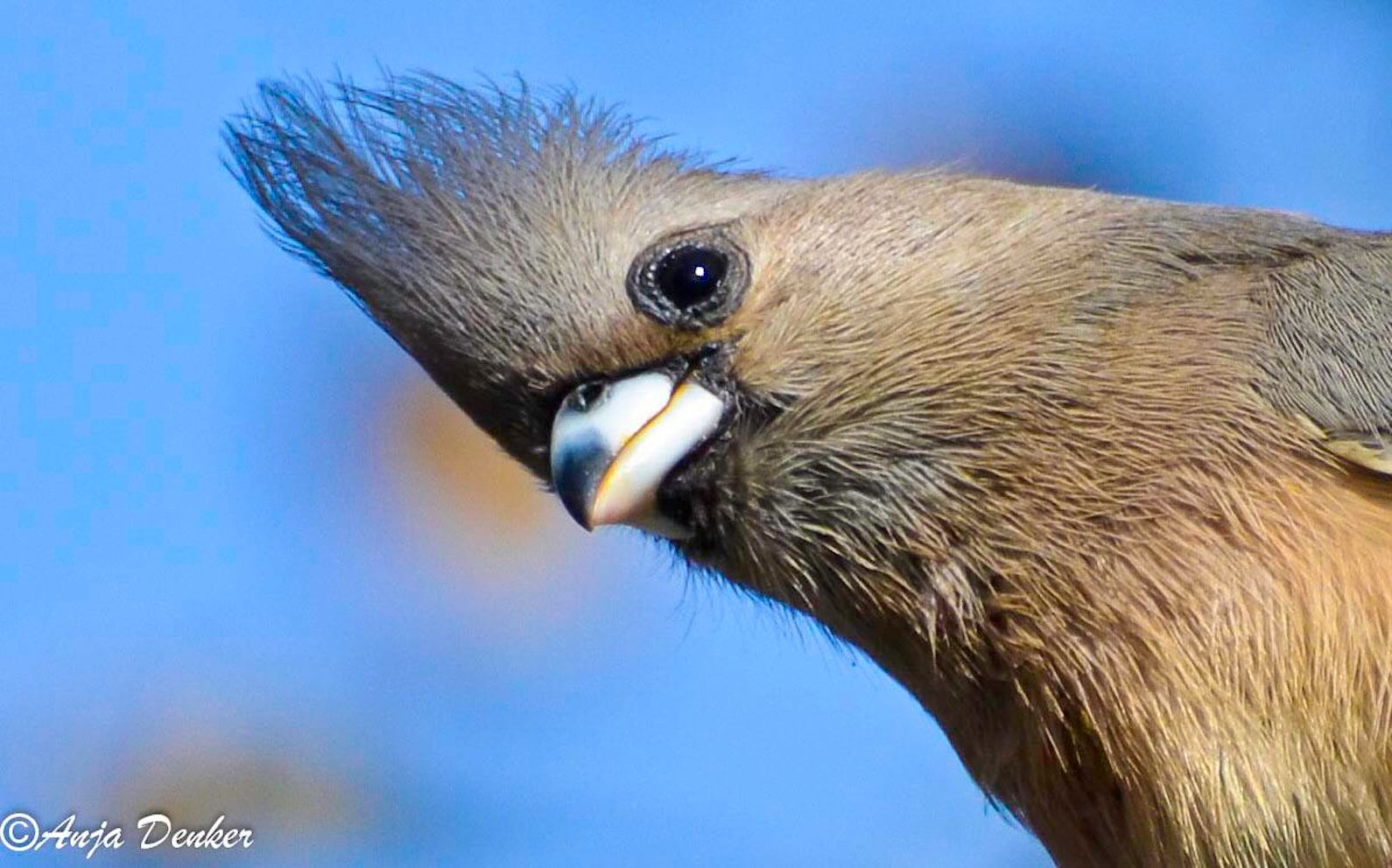 Whitebacked mousebirds are distributed in the W and central regions of southern Africa. They are frugivores that subsist on fruits, berries, leaves, seeds and nectar, and need to bask in the sun to ferment food in their bellies.