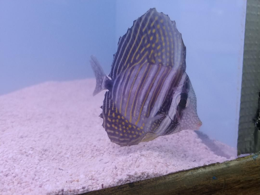 Treating A Sailfin Tang With Tattered Fins What S Needed To Help This Little Guy Get His Fins Healthy Again Photo Troyclark Https Petco Reef Aquarium Tang