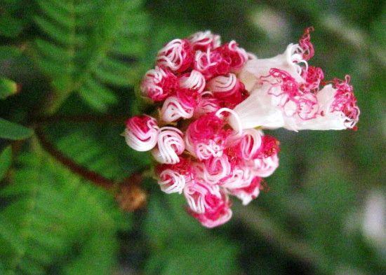 Bonsai Beginnings: Tropical Mimosa: Calliandra surinamensis
