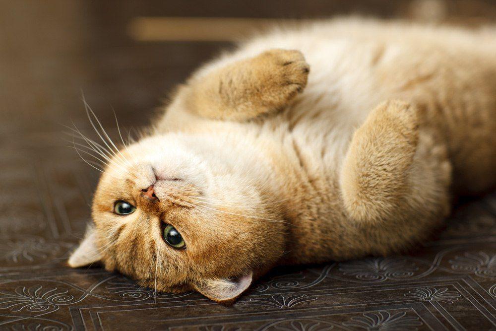 Perchik Cats Bri Cats British Shorthair Ny 25 British Golden Cat Golden Ticked Cat Golden Shaded Cat Cute Cats British Shorthair Cats All Cat Breeds