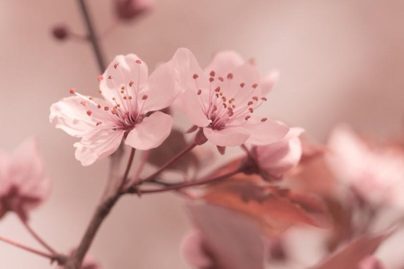 Flowers Focus Cherry Sakura Hd Wallpaper Spring Background