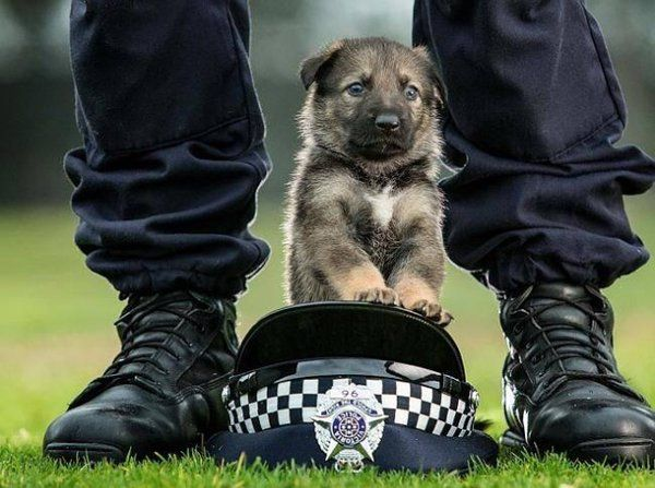 R U Disaster Ready On Shepherd Puppies Dogs Military Dogs