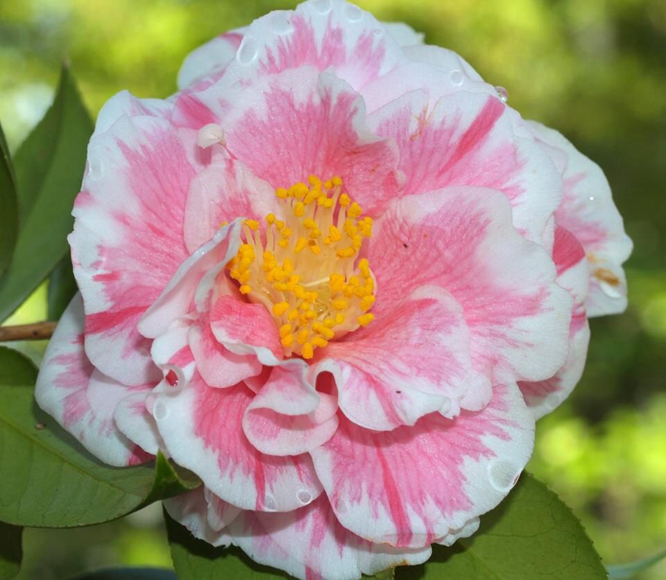Camellia Japonica Herme Flower Care Camellia Outdoor Flowers