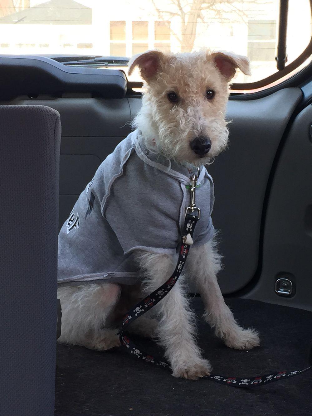 Bilbo wire fox terrier | My favorite dog | Pinterest | Hund auto ...