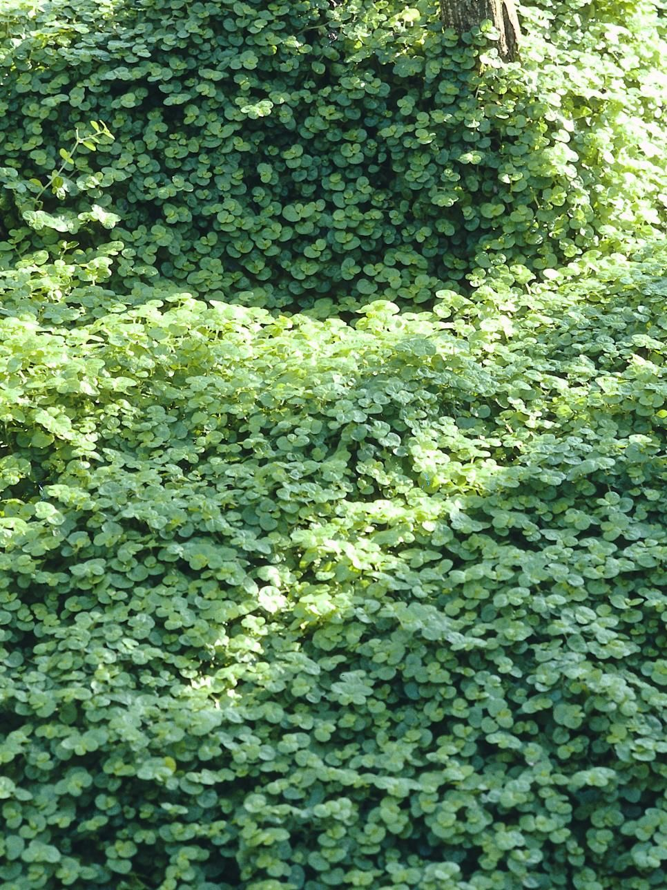 Six groundcover plants for damp shade