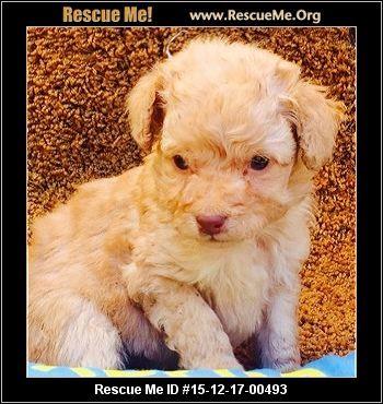 Maltese Rescue California Maltese Post Animal Little Dogs
