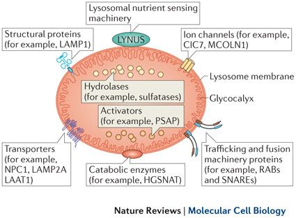 Lysosome Structure Organelles Digestive Enzymes Enzymes