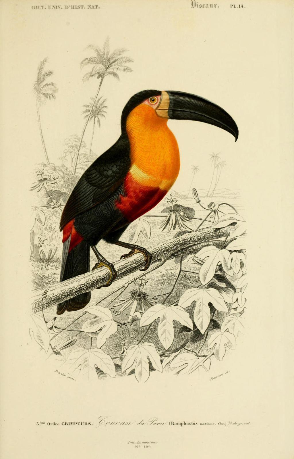 gravures couleur d'oiseaux - Gravure oiseau 0247 toucan de ...