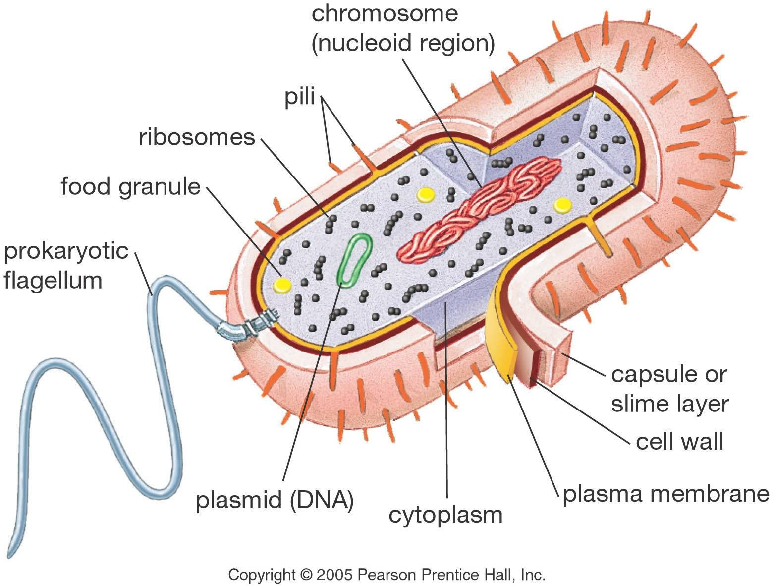 structure of a prokaryotic cell all bacteria fall within this rh pinterest com Eukaryotic Cell Diagram Labeled Eukaryotic Cell Diagram Labeled